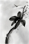 Dragon Fly and Japanese Magnolia