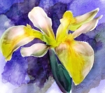 Water Iris un autre essai, Watercolor Corel Painter 12